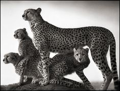 Nick Brandt, Cheetah & Cubs, Maasai Mara, 2003. Archival pigment print, 42 x 55 inches. Edition of 5. Courtesy the artist and Hasted Kraeutler, NYC