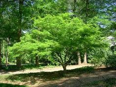 Maple Tree is a fast growing tree. Maple Trees have antioxidants inside of the tree. Maple Tree has zinc that is inside of the maple syrup. Japanese Maple Varieties, Japanese Garden Backyard, Specimen Trees, Acer Palmatum, Maple Tree, Leaf Coloring, Green Lace, Autumn Trees, Garden Planning