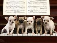 Chihuahuas ... this is hard work! 20paws coordination ...