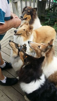 biscuit huddle! #dogs #pets #Shelties facebook.com/sodoggonefunny