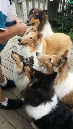 biscuit huddle! #dogs #pets #Shelties facebook.com/sodoggonefunny