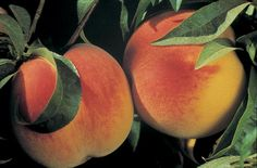Name: Peaches Description: **Peaches have the reputatio …
