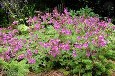 geranium macrorrhizum bevan's variety - risoomikas kurereha