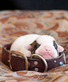 ity bity bulldog..