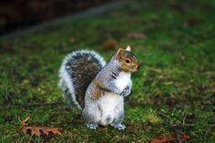 Veverita de Canada :) Squirrel, Rabbit, Bunny, Squirrels, Rabbits, Bunnies, Hare