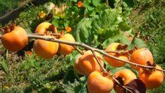 Miért együnk datolyaszilvát - mik az előnyei - Valódi Sáfrány Pumpkin, Fruit, Outdoor, Diet, Outdoors, Pumpkins, Outdoor Games, Squash, The Great Outdoors