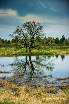 Oak Tree - Becker Waterfowl Production Area near Pardeeville, Wisconsin - http://www.devilslakewisconsin.com/2014/05/13/be-becker-waterfowl-production-area/