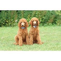 Love these red ones-gonna have one some day Standard Poodle Rescue | Poodle Standard breeder in Southminster