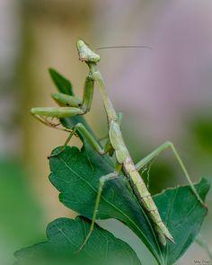 Backyard Resident: Praying Mantis by Mike Prieto on 500px