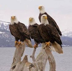 ★ Soulful White ★ Beautiful Groups of Alaska Eagles. More pictures: >> https://www.facebook.com/AmazingFactsandNature1/posts/1009578929058466