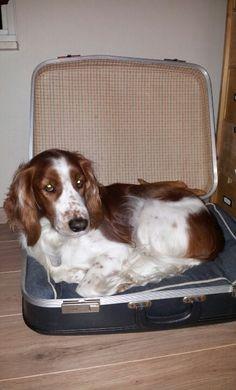 Simpele oude koffer met kussen wordt hondenmand