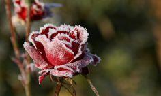 Proteger las plantas del frío