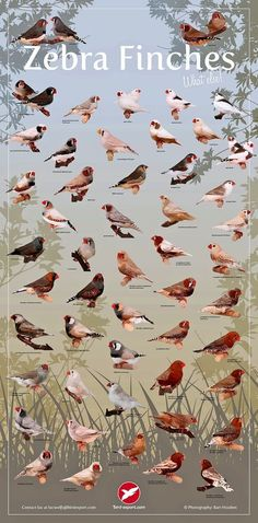 Exotic Birds, Colorful Birds, African Lovebirds, Zebra Finch, Bird Identification, Canary Birds, Bird Poster, Bird Aviary, Australian Birds