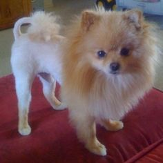 Pomeranian Before And After Haircut Pics Yup That Really Is The