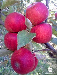 #Guresinkoyu #elma #apple