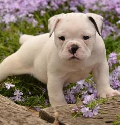 Pug and English Bulldog Miniature Bulldog