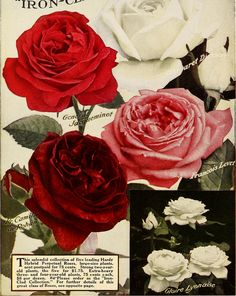 """Image from page 73 of """"Dingee guide to rose culture : 1850 1912"""" (1912)   Flickr - Photo Sharing!"""