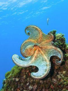 Flamenco dancing Octopus / Balearic Sea, Spain