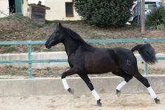 MORO DE LA B HORSE PRE RIDDED Horse Names, Dressage Horses, Horses For Sale, Barcelona Spain, Equestrian, Ireland, Animals, Animales, Animaux