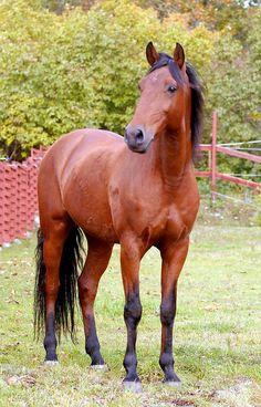 Bay Lusitano stallion Poejo (ferro PSV)