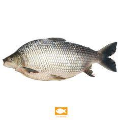 Peixe curimba