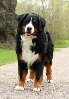 The Bernese Mountain Dog is a large-sized breed of dog, one of the four breeds of Sennenhund-type dogs from the Swiss Alps. Bred from crosses of Mastiffs and guard-type breeds, Bernese Mountain Dogs were brought to Switzerland by the Romans years ago. Cute Dogs And Puppies, Big Dogs, Large Dogs, Doggies, Bermese Mountain Dog, Bernese Mountain Dog Names, Animals And Pets, Cute Animals, Bernese Dog
