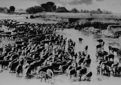 Arizona - 19th Century vintage photo image of cattle watering in the San Pedro River