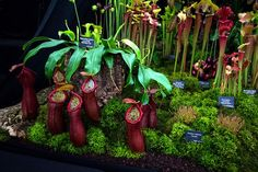 Carnivorous Plants at RHS Chelsea Flower Show