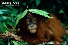 Sumatran orangutan sheltering in leaves