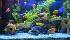 Are you looking for a way to setup your own aquarium? Are you looking to get your hands on something wonderful like taking the time and effort to enjoy building an aquarium? From planning and all the way to building a great aquarium fishtank. This series of articles will answer your questions and will walk you through all the information you need to know about fish species, questions like what really a fish is?, the evolution and the classification of fishes.