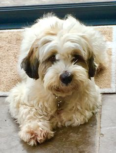 Maisie the Tibetan Terrier