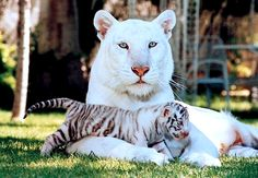 Very rare white tiger with cub