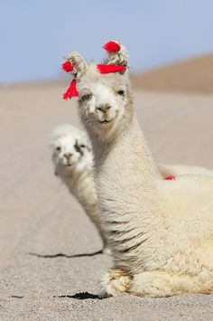 Happy Alpacas!