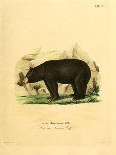 Black bear, Die Säugthiere in Abbildungen nach der Natur, Plates 81-165, Johann Christian Schreber, 1872.