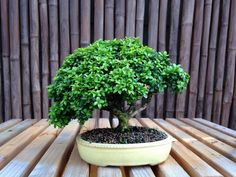 A Boxwood Bonsai in a Sara Rayner pot, by Terry White in Duluth Minnesota. www.mnbonsainetwork.com