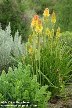 Yellow Torch Lilies w/ Sedum