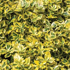 Evergreen shrubs make your garden colorful and alive. There are many types of evergreen shrubs, but we will discuss the most common and most colorful ones that will let you add variety to your garden. Plant Design, Garden Design, Evergreen Shrubs, Large Plants, Unique Gardens, Herb Garden, Gardening Tips, Emerald, Herbs