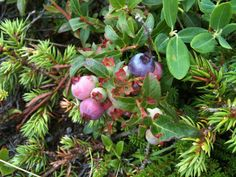 Blueberries. My dog eats these right off the bushes. ;)