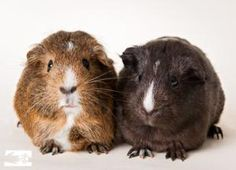 Bessie & Elsie are an adorable pair of guinea pigs looking for a gentle loving home.