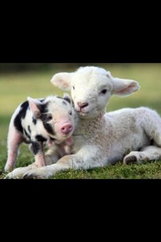 Piglet and baby lamb too adorable!