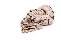 butter bee ball python. Cute Animals Images, Cute Animal Pictures, Cute Reptiles, Reptiles And Amphibians, Python Regius, Ball Python Morphs, Cute Snake, Python Snake, Beautiful Snakes