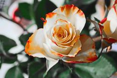 Hz. Ebu Bekir'in Üstünlüğü Flowers Dp, Flowers For You, Types Of Flowers, Beautiful Flowers, Bouquet Flowers, Gift Flowers, Drawing Flowers, Flowers Nature, Beautiful Good Morning Wishes