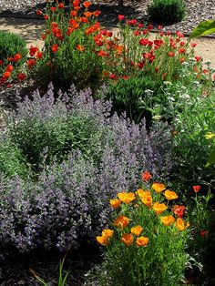 california native garden in bloom