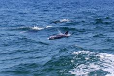 Orange Beach dolphin cruise with Dolphins Down Under: August 2, 2013 - Photo Gallery - al.com