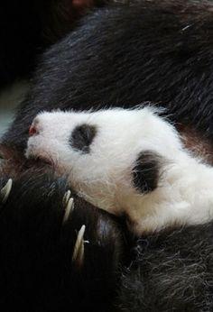 Top 10 ridiculously cute pics of baby panda Yuan Zai