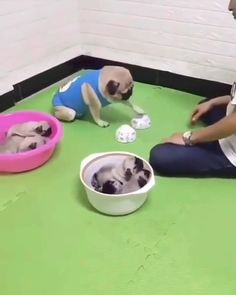 Funny Dog Videos, Funny Video Memes, Funny Dogs, Baby Animals, Funny Animals, Cute Animals, Corgi Husky, Pugs And Kisses, Cute Dogs And Puppies