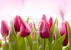 Stock photo of Fresh Tulips with Dew Drops 51930622 - image 51930622