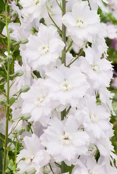 Delphinium 'Ailsa' ...tall upright perennial with white flowers