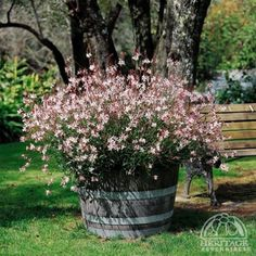 """Gaura-this plant makes me happy! It's long dainty """"fronds"""" have the daintiest flowers that look like """"butterflies"""" when the wind catches them. I have them on the edge of my flower garden and they """"drape"""" over onto the grass. Garden Yard Ideas, Garden Planters, Garden Projects, Container Plants, Container Gardening, Back Gardens, Outdoor Gardens, Gaura Plant, Pot Jardin"""