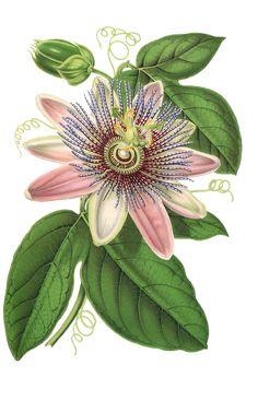 Passion Flower, Flower, Plant, Blossom, Bloom, Vintage